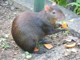 DSCN3553¸Barrett_20170302_051_Red-rumped Agouti.JPG