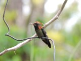 DSCN3609¸Barrett_20170302_099_Tufted Coquette_male.JPG