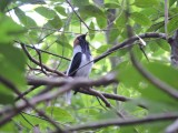 DSCN3679¸Barrett_20170302_157_Bearded Bellbird_male calling.JPG