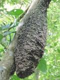 DSCN3755¸Barrett_20170303_212_Azteca Ant nest.JPG