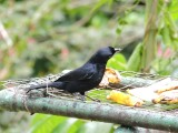 DSCN3817¸Barrett_20170303_271_White-lined Tanager_male.JPG