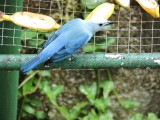 DSCN3829¸Barrett_20170303_282_Blue-grey Tanager.JPG