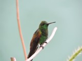 DSCN3882¸Barrett_20170303_326_Copper-rumped Hummingbird.JPG