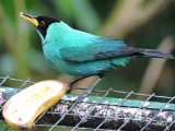 DSCN3951¸Barrett_20170303_378_Green Honeycreeper_male.JPG