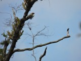 DSCN4023¸Barrett_20170304_433_Bat Falcon.JPG