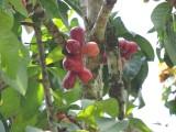 DSCN4037¸Barrett_20170304_443_Pomerac Tree.JPG