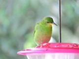 DSCN4092¸Barrett_20170304_483_Green Honeycreeper_female.JPG