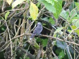 DSCN4158¸Barrett_20170305_517_Barred Antshrike_male.JPG