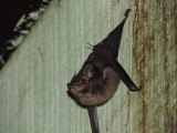 DSCN4205¸Barrett_20170305_553_Bull-nosed Bat.JPG
