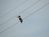 DSCN4262¸Barrett_20170305_592_Ringed Kingfisher.JPG