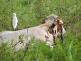 DSCN4277¸Barrett_20170305_600_Cattle Egret.JPG