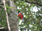 DSCN4313¸Barrett_20170306_620_Collared Trogon.JPG
