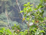 DSCN4337¸Barrett_20170306_635_Boat-billed Flycatcher.JPG