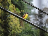 DSCN4343¸Barrett_20170306_640_Great Kiskadee.JPG
