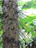 DSCN4447¸Barrett_20170307_708_Bactris Palm.JPG