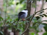 DSCN4508¸Barrett_20170307_756_White-bearded Manakin.JPG