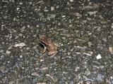 DSCN4576¸Barrett_20170307_815_Trinidad Stream Frog and tadpoles.JPG