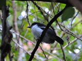 DSCN4605¸Barrett_20170308_842_Great Antshrike.JPG