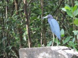 DSCN4675¸Barrett_20170308_889_Little Blue Heron.JPG