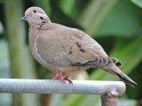 DSCN4766¸Barrett_20170309_954_Eared Dove.JPG
