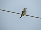 DSCN4776¸Barrett_20170309_962_Gray Kingbird.JPG