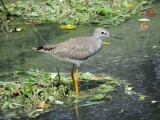 DSCN4795¸Barrett_20170309_980_Lesser Yellowlegs.JPG