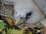 DSCN4905¸Barrett_20170310_1072_Red-billed Tropicbird_chick.JPG