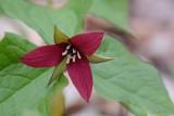 Trille rouge (Red trillium)