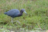 Aigrette bleue (Little blue heron)