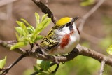Paruline à flancs marrons (Chestnut-sided Warbler)