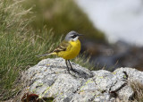 (Blue-headed) Yellow Wagtail     Spain
