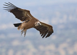 Griffon Vulture   Spain