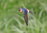 Red-rumped Swallow  Spain