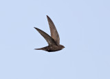 Common Swift   Spain