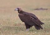 Cinereous (Black) Vulture