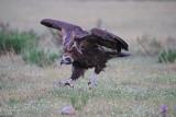 Cinereous (Black) Vulture        Spain
