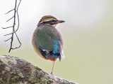 Indian Pitta          Sri Lanka