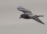 Leach's Storm Petrel   England
