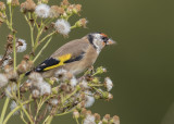 Goldfinch   Wales