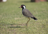 Red-wattled Lapwing   India
