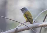 Grey-headed Canary-flycatcher   India