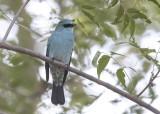 Verditer Flycatcher  India