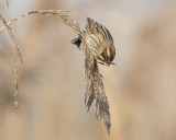 Reed Bunting   Wales