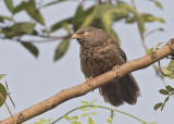 Jungle Babbler    Goa, India
