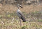 Asian Openbill Stork     India