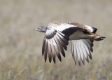 Great Bustard.  Spain