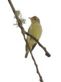 Icterine Warbler   Estonia