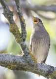 Thrush Nightingale    Estonia