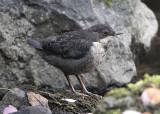 Dipper(juvenile)     Wales