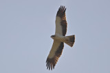 Booted Eagle   Spain